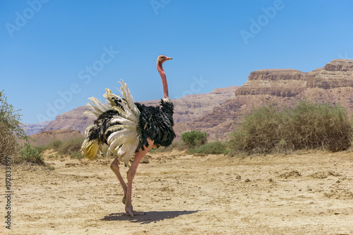 La pose en embrasure Autruche Male of African ostrich (Struthio camelus) in nature reserve near Eilat, Israel