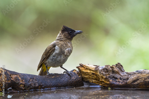 Fotografering  Dark capped Bulbul in Mapungubwe National park, South Africa