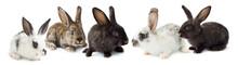 Grey Fluffy Rabbits