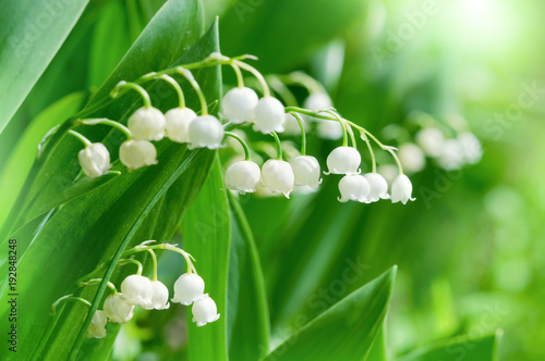 Beautiful wild lily of the valley flowers in a sunny forest.