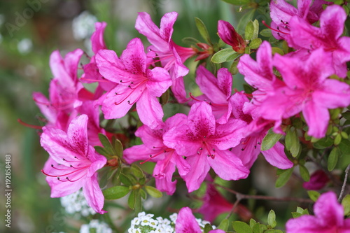Deurstickers Azalea Azalée du Japon variété Purple splendor