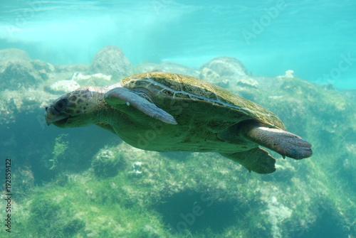 Poster Tortue Meeresschildkröte