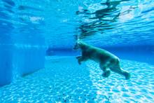 Polar Bear Swims In The Pool O...