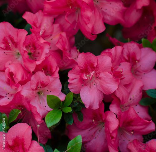 Photo sur Toile Azalea A lot of pink azaleas. Flower garden