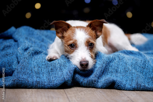 Fotografie, Obraz  Cute Jack Russell Terrier.The dog on the blanket