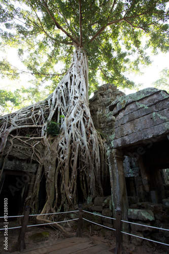 фотография  Tomb Raider Tree in Ta Prohm Temple, Temples of Angkor, Cambodia