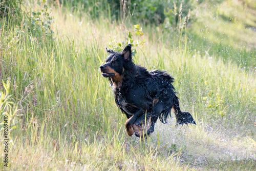 Fototapeta border collie belgischer Schäferhund Mix schwarz braun border collie belgian shepherd mix black brown obraz na płótnie