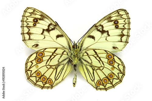 Fotografía  Melanargia arge, underside, endangered butterfly from Italy