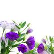 Eustoma violet flowers