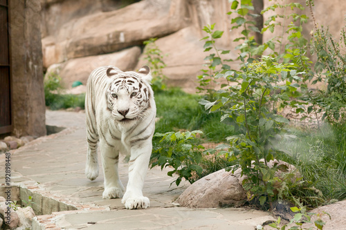 A large, white, Bengali tiger walks along the path in the contact zoo