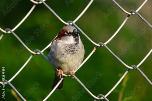Cuadros en Lienzo Male sparrow (passer domesticus) perching on a chain-link wire fence in front of