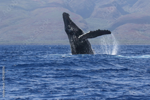Photo  Large humback whale breaching on Maui.