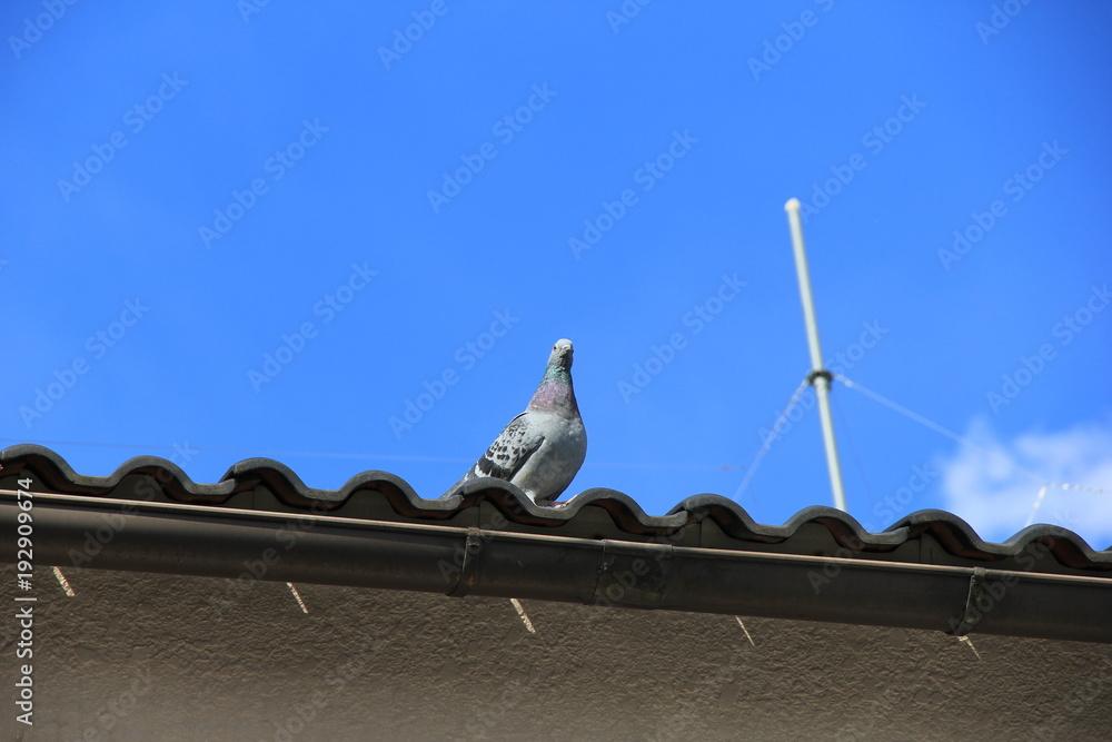 屋根の上から人を見下ろす鳩(埼玉県)