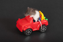 Baby Rat On The Car