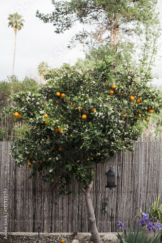 Fotobehang Tuin Orange Tree