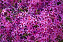 Phlox Subulata (creeping Phlox, Moss Phlox, Moss Pink, Or Mountain Phlox). Many Small Purple Flowers For Background, Top View.