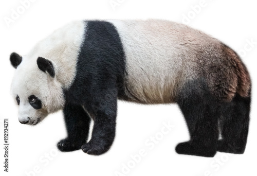 Spoed Foto op Canvas Panda The Giant Panda, Ailuropoda melanoleuca, also known as panda bear, is a bear native to south central China. Panda standing, side view, isolated on white background, often used as an symbol of China.