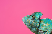 Chameleon On Pink Background