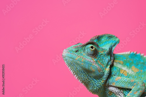 Spoed Foto op Canvas Kameleon close-up view of cute colorful exotic chameleon isolated on pink