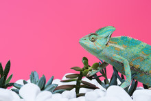Side View Of Cute Colorful Chameleon On Stones With Succulents Isolated On Pink