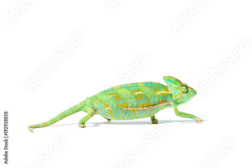Staande foto Kameleon close-up view of beautiful colorful tropical chameleon isolated on white