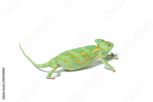 Staande foto Kameleon close-up view of exotic chameleon isolated on white