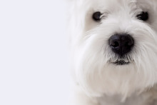 Black Nose White Dog Breed West West Highland White Terrier On White Homogeneous Background With Free For Text