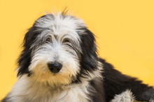 Bearded Collie Portraits