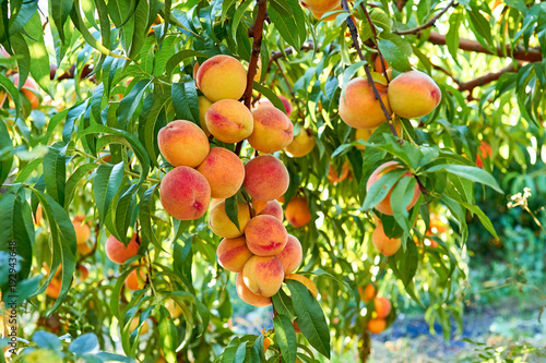 sweet peaches on tree