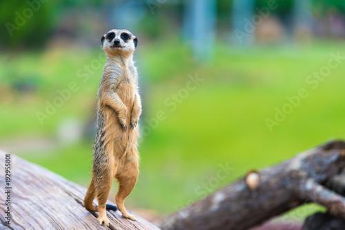 Fotografie, Obraz Portrait of Meerkat Suricata suricatta, African native animal, small carnivore b