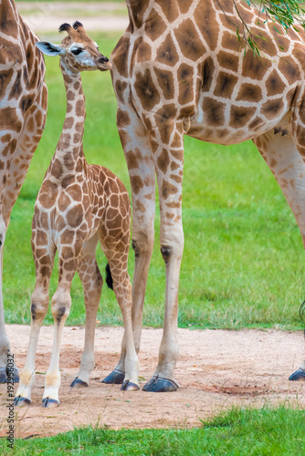 Young baby giraffe with its mother, African native animals Wallpaper Mural