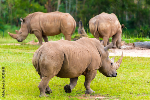 Spoed Foto op Canvas Neushoorn Southern white rhinoceros, endangered African native animals