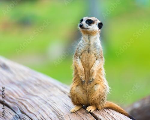 Fototapeta Portrait of Meerkat Suricata suricatta, African native animal, small carnivore b