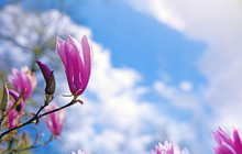 Magnolia Flowers On Blue Sky Background.