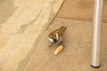 Sparrow Eating A Piece Of Bread On The Pavement
