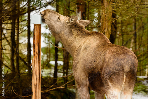 Female moose (Alces alces) getting a well needed dose of minerals at a mineral lick or salt lick placed in the forest.