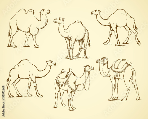 Decorated camel. Vector illustration Wallpaper Mural