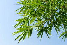 Green Bamboo Leaves And The Bl...