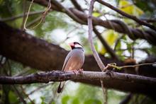 Java Sparrow ( Lonchura Oryziv...