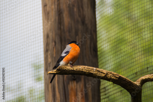 Photo  Buatiful bird with orange chest sitting on branch in Prague zoo, Czech republic