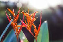 Beautiful Tropical Exotic Orange Flowers In Costa Rica