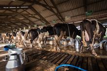 Cows In A Dairy Farm