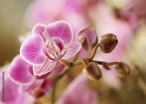 Obraz Storczyki różowe - fototapety do salonu