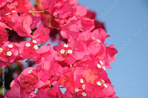 Papiers peints Azalea Pink Bougainvillea flower plant