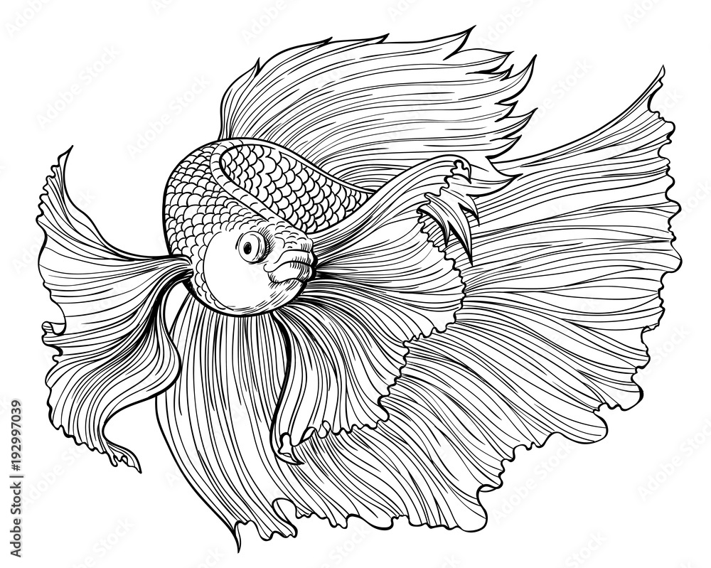 Fototapeta Vector drawing of siamese fighting fish on white background.