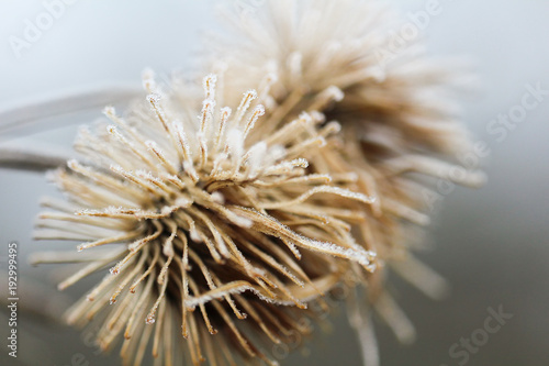 Deurstickers Textures Two frozen thistle, winter background, macro photo