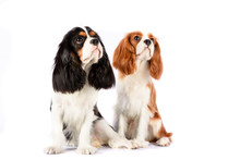 Couple Cavalier King Charles S...