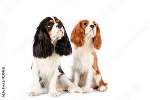 Obraz Couple Cavalier King Charles Spaniel against a white backdrop. Blenheim and  color - fototapety do salonu
