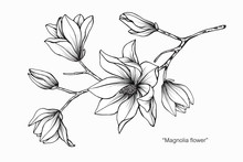 Magnolia Flower Drawing  Illustration. Black And White With Line Art.