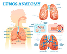 Lungs Anatomy Medical Vector I...